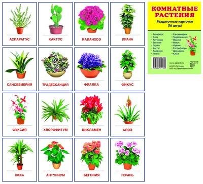 Комнатные цветы картинки с названиями по алфавиту 10